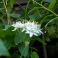 ニラの花  08-09-11