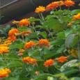 ランタナ オレンジ 08-09-04