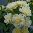 モッコウ薔薇 08-04-05