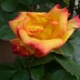 薔薇  チャールストン