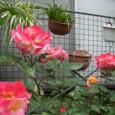 薔薇 チヤ-ルスト 08-05-06