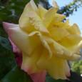 薔薇 08-05-06