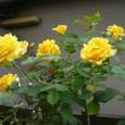 薔薇  08-05-09