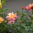 ミニ薔薇 08-05-09