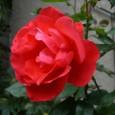 薔薇 08-05-13