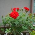 ミニ薔薇 08-05-16