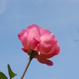薔薇  08-11-13