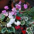 ガーデンシクラメンの寄せ植え 09-02-03