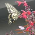 アゲハ蝶&サルビア 08-09-04