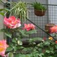 薔薇 チヤ-ルスト 08-05-04