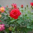 ミニ薔薇 08-05-15