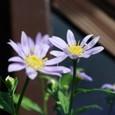 ミヤコワスレ 薄い紫 09-04-15