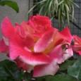 薔薇チャールストン 08-05004