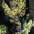 葉ボタンの花 10-04-26
