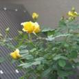 薔薇 08-05-07