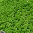 セダム・万年草 緑 09-05-02