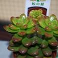 セダム属 松の緑 09-12-26