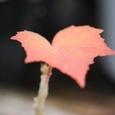 芙蓉の紅葉 10-11-27