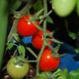 ミニトマト、あいこ 09-06-25